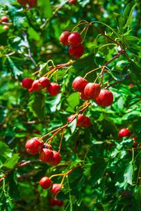 树叶丛中的垂挂的一串串串山楂
