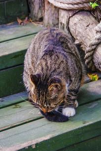 一只在木梯上卧着的黑纹花猫