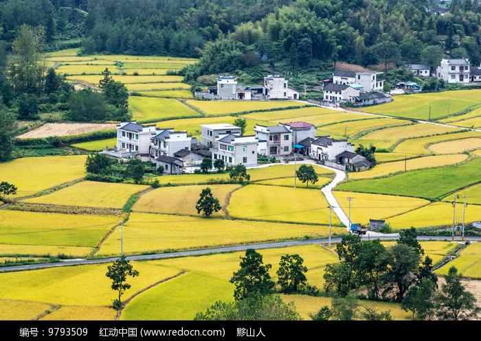 田间的金色稻谷