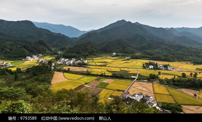黟县柯村的大地一片金黄图片