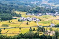 黟县柯村盆地一片金灿灿的稻黄