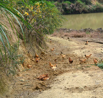 农家散养的鸡