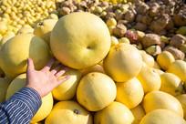 思州沙田柚
