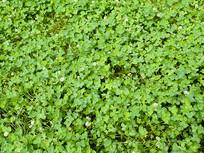 白车轴草绿色植物背景