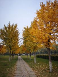 金黄色银杏树