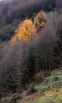 卧龙卓西牧场初冬的彩林