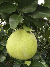 果园青柚子