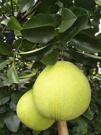 树上青柚子