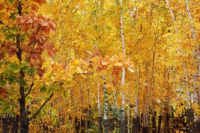 白桦林金色秋叶灿烂