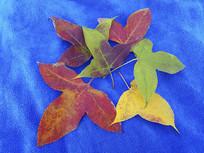 枫叶色彩图