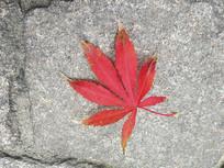 静物红枫叶