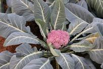 粉红色的花菜菜地