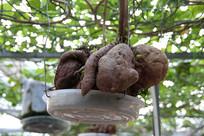 红薯长在树上
