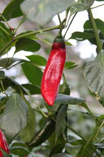 辣椒树红辣椒