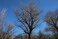 蓝天背景的冬季大树
