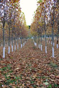 秋日梧桐树落叶林