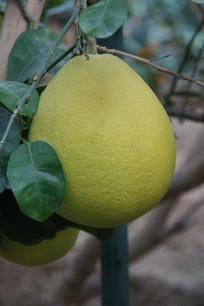 沙田柚果树