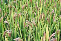 水稻田抽穗