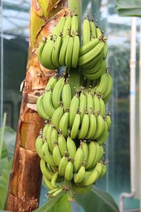 树上的香蕉串