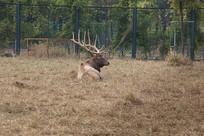 躺着草地上的长角麋鹿