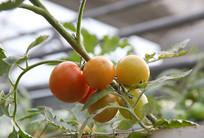 西红柿树果实