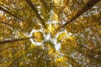 仰拍金色树林