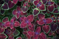 紫也绿边植物