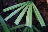 棕竹树叶子