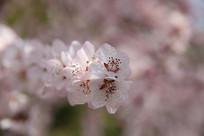 露水樱花枝