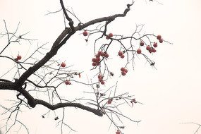 冬天柿子树