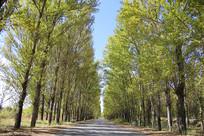 柏油马路林荫绿化