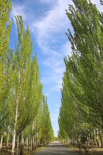 绿树成荫白杨林荫大道