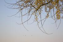 秋天的银杏树枝叶
