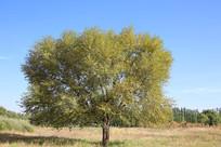 草地大树方形树