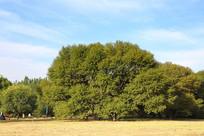 草坪大树绿树