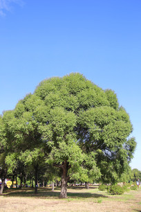绿草坪大树林
