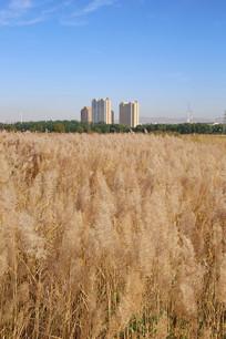 绿色发展城中草原芦苇海