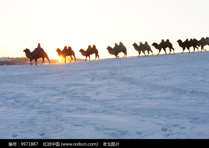 迎向太阳的骆驼图片