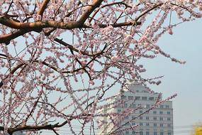 城市樱花树