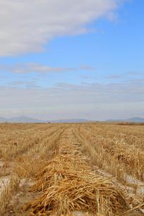 丰收收割谷子庄稼地