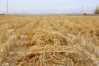 丰收收获小米地