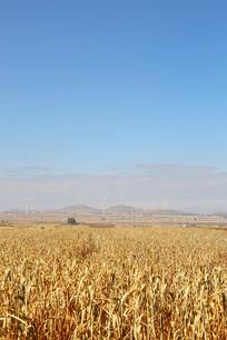 谷子小米地丰收了