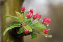 露水梅花花苞
