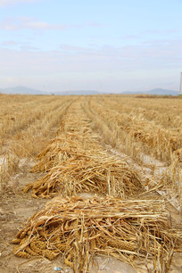 农田收割庄稼