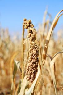 秋收 谷穗小米穗丰收了