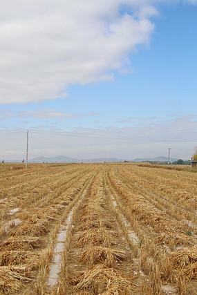 秋收小米地收割庄稼