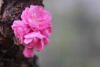 树干长梅花