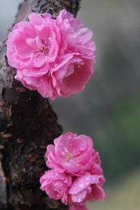 红梅花树干