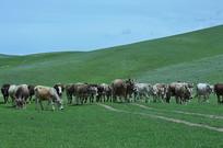 天山脚下的牛