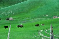 在交配的牛